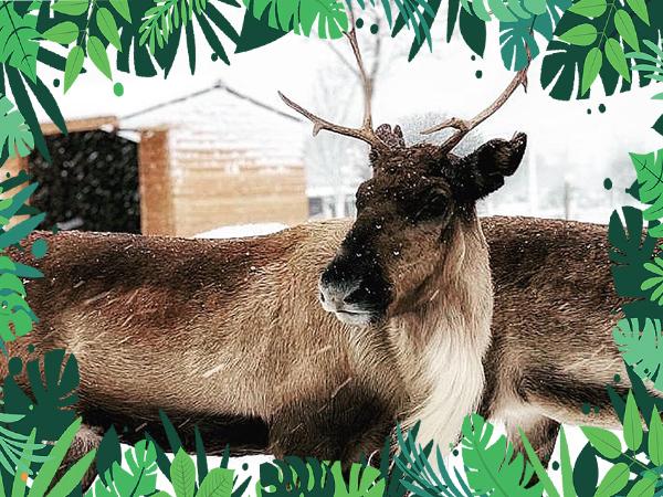 VIP Animal Encounters - Reindeer