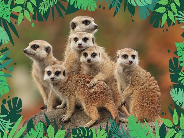VIP Animal Encounters - Meerkats